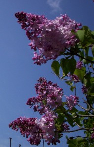 The time of the lilacs is here.