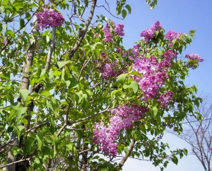 """I am looking at lilacs, and I see / Shapes of dreams in a ghost-light sea...."""