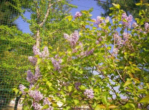 """I am looking at lilacs, and I see / All things wild, forever, free...."""