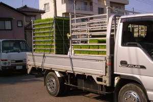 Seedlings in trays on the back of a truck, brought from the greenhouse and ready to be loaded onto the planting tractor.